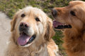 Golden retrievers two both are under the camera Stock Photography