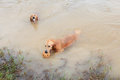 Golden retriver dog playing in nature pond Stock Photography