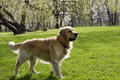 Golden retriver for a walk in the spring park Royalty Free Stock Images
