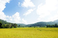 Golden rice field in mountain valley