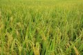 The golden rice fields Royalty Free Stock Photo