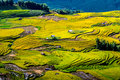 Golden rice terraced fields at harvesting time. Royalty Free Stock Photo