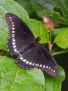 Golden Rimmed Swallowtail Royalty Free Stock Photo