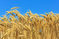 Golden ripe wheat Royalty Free Stock Photo