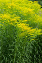 Golden rod yellow flowers of the plant known as Royalty Free Stock Photos