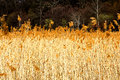 Golden rush field against forest background Stock Images