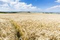 Golden rye field a with blue sky and wide eifel landscape in germany Stock Images