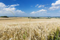 Golden rye field a with blue sky and wide eifel landscape in germany some green stalks in the foreground Stock Photos