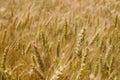 Golden rye field detail of Stock Photo
