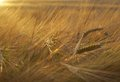 Golden rye field of ripe at sunset Royalty Free Stock Photography