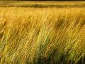 Golden rye field in summer day Stock Images