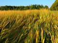 Golden rye field in summer day with forest horizon Royalty Free Stock Photos