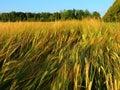 Golden rye field in summer Royalty Free Stock Photo