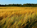 Golden rye field in summer day with forest horizon Royalty Free Stock Image