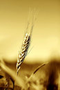 Golden rye grain in field Royalty Free Stock Photo
