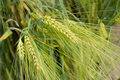 Golden rye secale cereale close up color Royalty Free Stock Photo