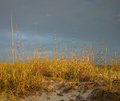 Golden sea oats Stock Image
