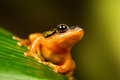 Golden sedge frog sat on large green leaf Stock Images