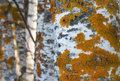 Golden shield lichen on birch trees Stock Photography