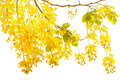 Golden shower Cassia fistula, Beautiful flower in summer time Royalty Free Stock Photo