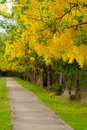 Golden shower floral background scientific name cassia fistula in kanchanaburi thailand Stock Image