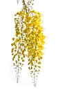 Golden Shower flower Royalty Free Stock Photo