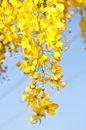 Golden Shower Tree Stock Photo