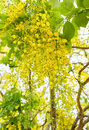 Golden Shower Tree,Indian laburnum,koon yellow flower, blooming Royalty Free Stock Photo