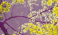 Golden shower tree on purple wall art print Royalty Free Stock Photos