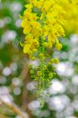 Golden shower tree on summer Stock Image