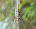 Golden SIlk Orb Weaving Spider waiting on her web Royalty Free Stock Photo
