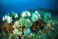 Golden spadefish bunaken sulawesi indonesia platax boersii underwater Royalty Free Stock Photo