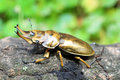 Golden stag beetle Royalty Free Stock Photo