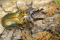 Golden Stag Beetle In Myanmar