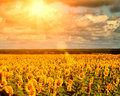 Golden summer sun over the sunflower fields natural landscape Stock Photography