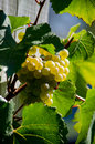 Golden sunlit grapes a cluster of white glow in a patch of sunshine Stock Images