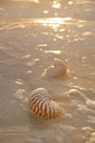 Golden sunrise and nautilus shells Royalty Free Stock Photography
