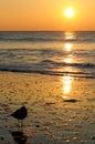 Golden Sunrise Seagull Myrtle Beach Royalty Free Stock Photo