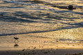 Golden sunset on beach shore and bird with long legs foraging Royalty Free Stock Photo