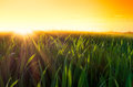 Golden sunset over green field dramatic with sunrays and sunbeams a grass in spring Royalty Free Stock Photography