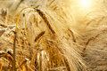 Golden sunset over wheat field Royalty Free Stock Photo