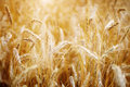 Golden sunset over wheat field. Royalty Free Stock Photo