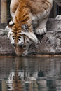 Golden tabby tiger drinking water a Royalty Free Stock Photo