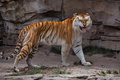 A golden tabby tiger walking Stock Photos