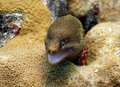 Golden Tail Moray Eel Stock Photo