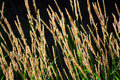 Golden Tall Grass Seed Heads Royalty Free Stock Photo