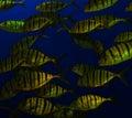 Golden Tiger Fish School Royalty Free Stock Photo