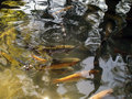Golden trout in natural environment Stock Image