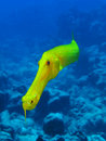 Golden trumpetfish Royalty Free Stock Photos