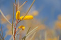 Golden wattle acacia an australian plant Royalty Free Stock Images